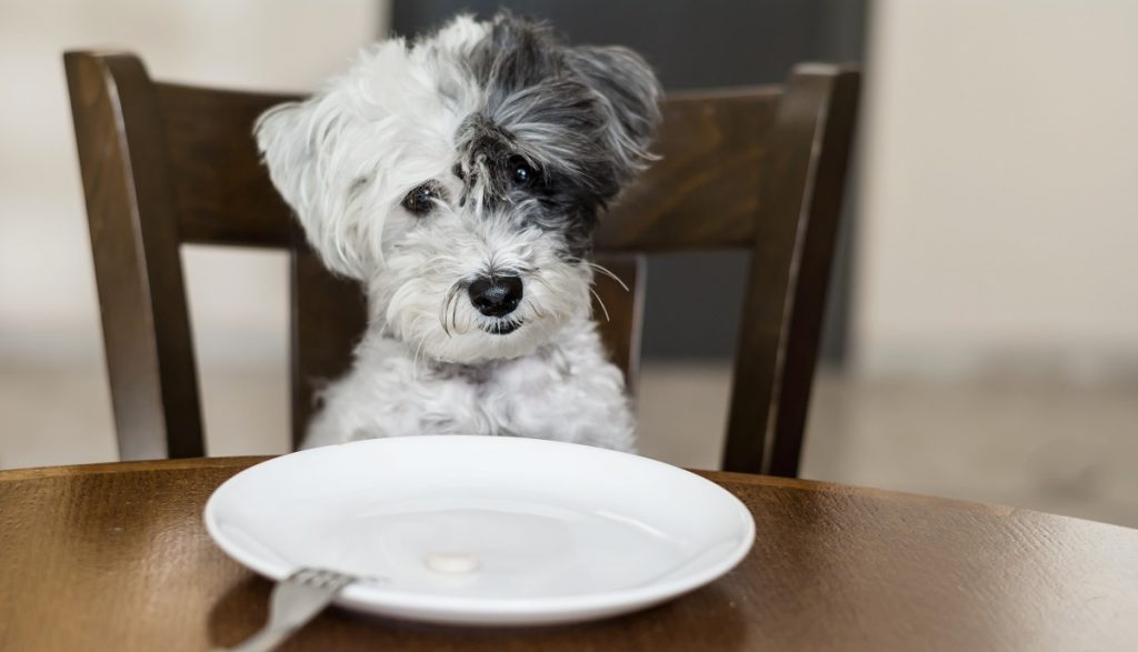Dog in front of a white plate